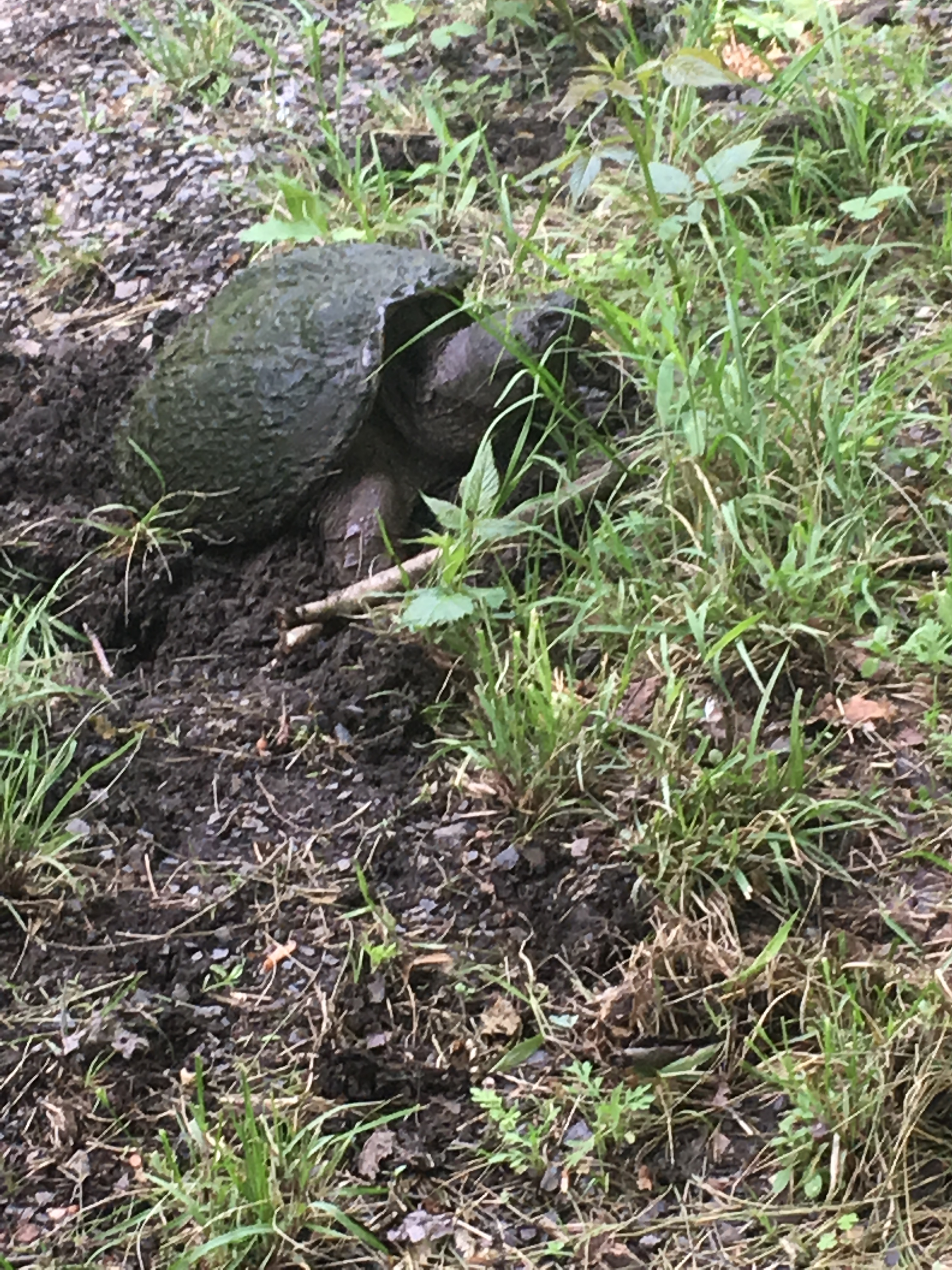 snapper snapping turtle laying eggs